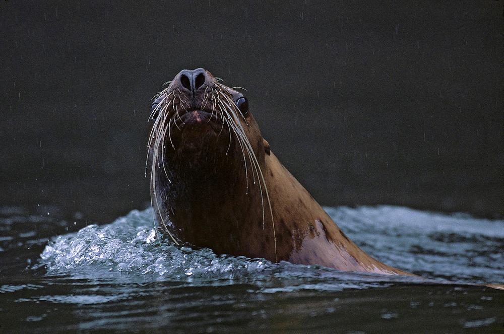 USA, Alaska, Tongass National Forest, Steller's Sea Lions (Eumetopias jubatus) swimming near haulout by Sail Island