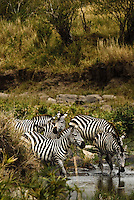 Burchell's Zebra drinking from a river in the Masai Mara National Park, Kenya