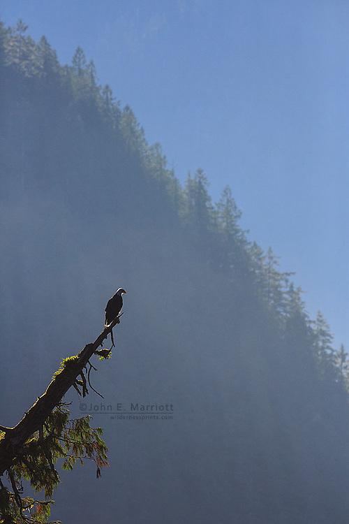 Bald eagle, Great Bear Rainforest, British Columbia, Canada