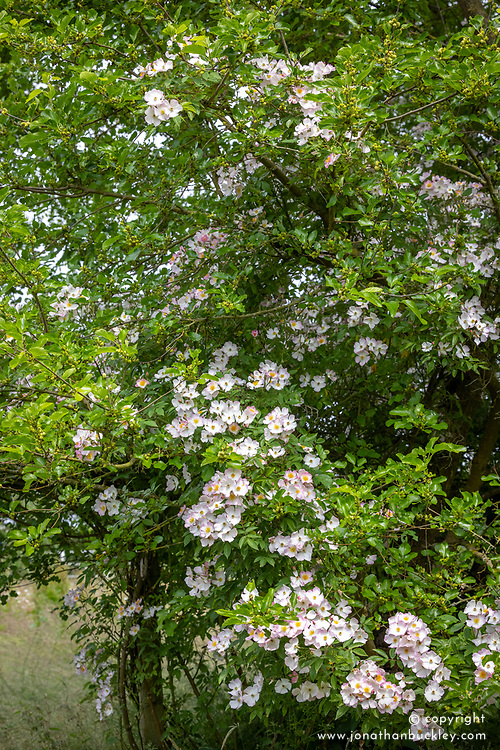 Rosa 'Francis E. Lester' growing through a tree