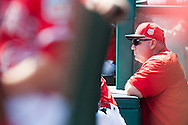 Manager Mike Scioscia looks out from the dugout during the Angels' preseason game against the Chicago Cubs at Angel Stadium Sunday.<br /> <br /> <br /> ///ADDITIONAL INFO:   <br /> <br /> angels.0404.kjs  ---  Photo by KEVIN SULLIVAN / Orange County Register  --  4/3/16<br /> <br /> The Los Angeles Angels take on the Chicago Cubs at Angel Stadium during a preseason game at Angel Stadium Sunday.<br /> <br /> <br />  4/3/16
