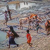 A woman and her children flee oncoming plow oxen in a village near Dhaka, Bangladesh.