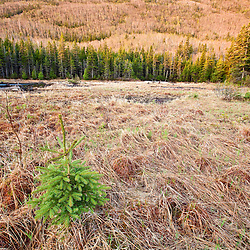 A spruce tree sapling on the edge of Caribou Pond in Crocker Cirque at the base of Crocker Mountain in Stratton, Maine.  Near the Appalachian Trail.