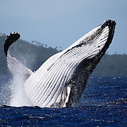 Humpback whale (Megaptera novaeangliae) breaching in front of Hunga island in Vava'u, Tonga
