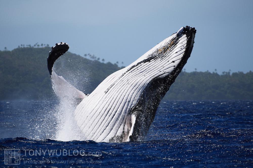 Humpback whale (Megaptera novaeangliae) breaching in front of Hunga island in Vava'u, Tonga