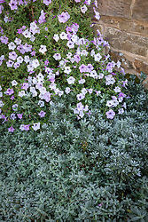 Petunia x hybrida 'Tidal Wave Silver' with Helianthemum and Convolvulus cneorum - Shrubby bindweed