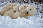 mother polar bear with two cubs resting in snowbank at sunset<br />Churchill<br />MANITOBA<br />Canada
