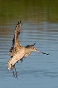 Marbled Godwit landing.(Limosa fedoa).Back Bay Reserve, California