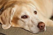 USA, Oregon, Keizer, Labrador Retriever resting.