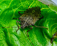 Stink Bug eating my lettuce. Image taken with a Fuji X-H1 camera and 80 mm f/2.8 macro lens (ISO 200, 80 mm, f/16, 1/125 sec).