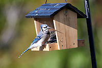 Blue Jay (Cyanocitta cristata) perched on a bird feeder, Cherry Hill, Nova Scotia, Canada