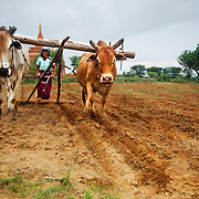 Woman with oxes plowing fields near temple at Bagan