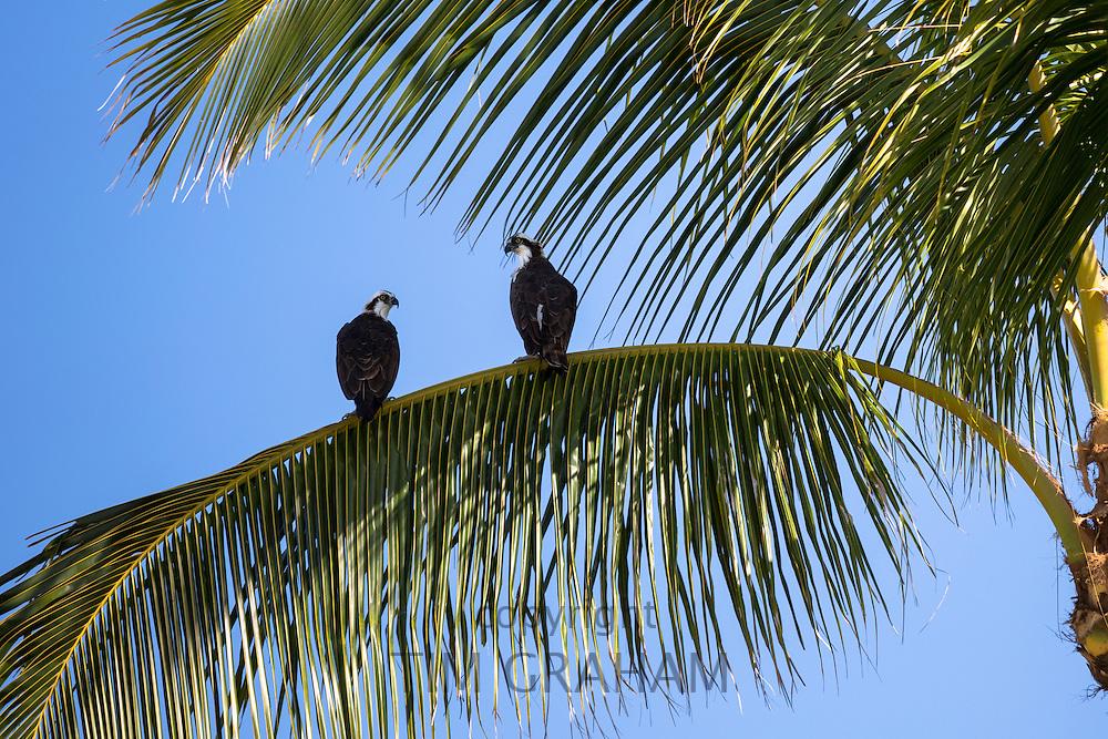 Pair of Osprey, Pandion haliaetus, on branch of palm tree, Captiva Island in Florida, USA