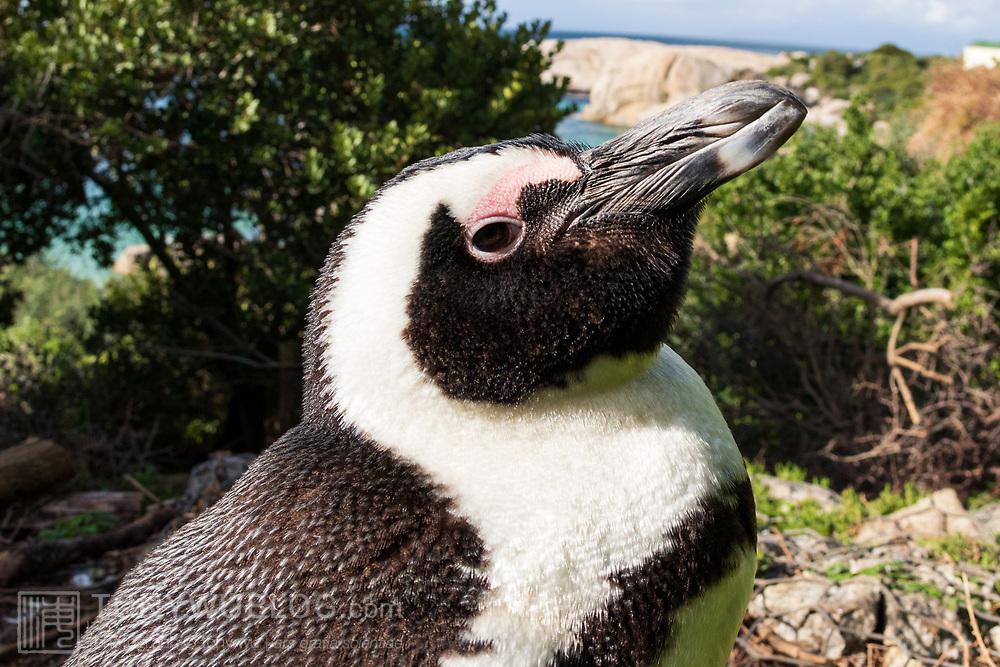 Profile of an endangered African penguin (Spheniscus demersus)