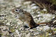 gerbil Gerbillus is a genus that contains most common and the most diverse gerbils. Photographed in Israel in December