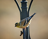 Goldfinch. Image taken with a Fuji X-H1 camera and 200 mm f/2 lens + 1.4x TC