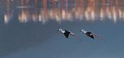 Two black-winged stilts (Himantopus himantopus) coming in for landing at Lake Bogoria, Kenya.