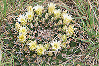 This unusual flattened, short cactus is more common in its range than one might think, but because it barely grows above the ground level and can be as wide as four inches. Easier to find in the spring and summer, it can be difficult to spot in the winter when it is nearly below ground level and may be partially covered in gravel. The little nipple cactus (as well as all other members of its genus) are much more common in Mexico, but this species can be found in the United States in Texas, Colorado, New Mexico, Arizona and Oklahoma. This one was found and  photographed in the Chisos Mountains in Texas' Big Bend.