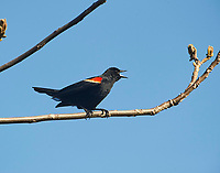 Male Red-winged Blackbird (Agelaius phoeniceus) perched on a tree branch, Annapolis Royal Marsh, French Basin trail, Annapolis Royal, Nova Scotia, Canada