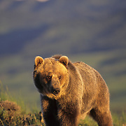 Grizzly Bear in Montana. Captive Animal