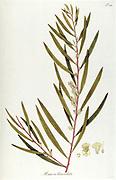 Hand painted botanical study of Mimosa lanceolata tree from Fragmenta Botanica by Nikolaus Joseph Freiherr von Jacquin or Baron Nikolaus von Jacquin (printed in Vienna in 1809)