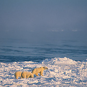 Female polar bear with cubs waiting for Hudson Bay to freeze. Canada