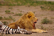 Male lion feeding on zebra kill, Serengeti National Park Tanzania