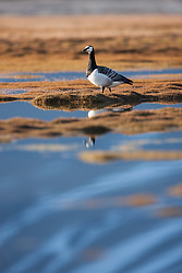 Barnacle Goose, Branta leucopsis, Spitsbergen, Svalbard