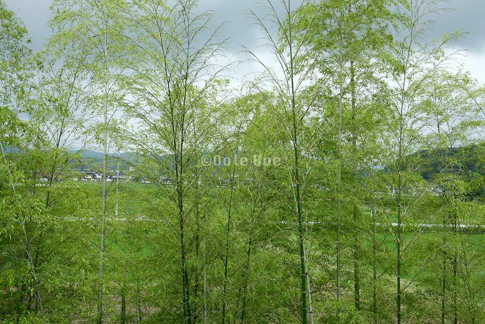 close up of a bamboo tree grove with mountainous landscape in the background