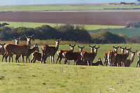 Red deer on the Isle of Wight