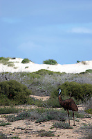 The Emu, Dromaius novaehollandiae, is the largest bird native to Australia and the only extant member of the genus Dromaius. It is also the second-largest extant bird in the world by height, after its ratite relative, the ostrich. The soft-feathered, brown, flightless bird reach up to 2 metres (6.6 ft) in height. The Emu is common over most of mainland Australia, although it avoids heavily populated areas, dense forest, and arid areas. Emus can travel great distances at a fast, economical trot and, if necessary, can sprint at 50 km/h (31 mph) for some distance at a time. They are opportunistically nomadic and may travel long distances to find food; they feed on a variety of plants and insects.<br /> <br /> The Emu subspecies that previously inhabited Tasmania became extinct after the European settlement of Australia in 1788; and the distribution of the mainland subspecies has been influenced by human activities. Once common on the east coast, Emu are now uncommon; by contrast, the development of agriculture and the provision of water for stock in the interior of the continent have increased the range of the Emu in arid regions. Emus are farmed for their meat, oil, and leather.<br /> <br /> ---------------<br /> <br /> Emuen er en strutselignende fugl som bare fins i Australia. Eneste nåværende art er Dromaius novaehollandiae.<br /> <br /> Den har en høyde på 150- 190 centimeter og en vekt på 30-55 kg. Emuen eter friskt gress, gressfrø, røtter, insekter og frukter. Den kan normalt klare seg gjennom lang tid uten vann. Faktisk er den en ganske dyktig svømmer.<br /> <br /> Emuene parer seg i løpet av sommeren. Det er hannene som står for reirbyggingen og ruger ut eggene. De vokser i tolv til fjorten måneder.<br /> <br /> En vill emu kan leve i omkring ti år, mens emuer i fangenskap kan bli opptil dobbelt så gamle.