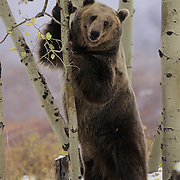 Grizzly Bear standing up against a tree in the Rocky Mountains. Captive Animal