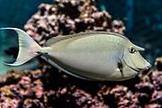 Short-nose unicornfish, Naso unicornis.