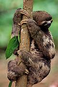Three-toed sloth in tree - Amazonia, Peru.