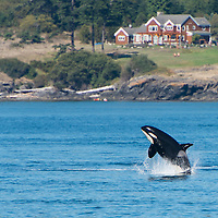 A super pod of resident orcas (Orcinas orca) make their way north to south down the coast of San Juan Island, Washington, USA. This was a super pod consisting of approximately 60 animals, made up by the J and K pod orcas swimming near each other. Resident orcas feed exclusively on salmon, and follow the fish stocks from place to place. September 10, 2013. Photo © William Drumm.