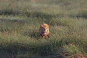 Mature male lion in east Africa