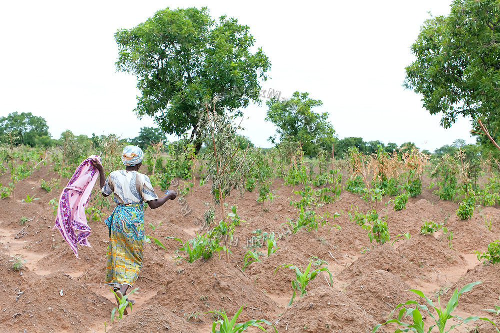 A woman is walking in a field of Yam in Fooshegu village, near Tamale, northern Ghana.