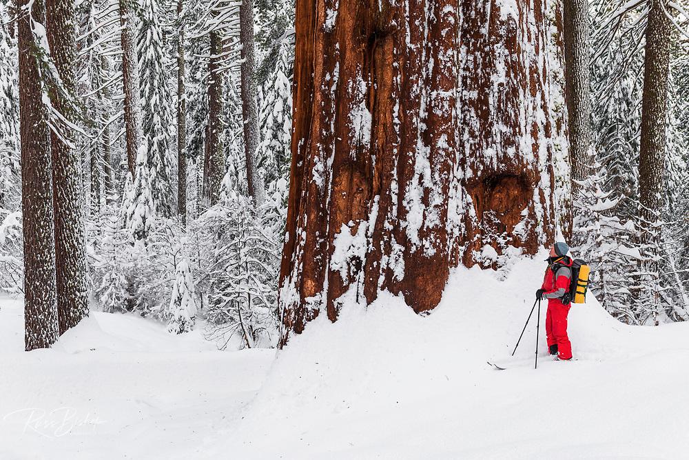 Skier and giant sequoia in the Tuolumne Grove, Yosemite National Park, California USA