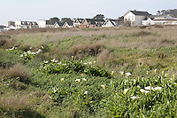 calla lilies on the Mendocino Headlands, with Mendocino Village's Main Street in the background.