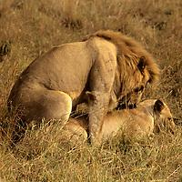 Africa, Kenya, Maasai Mara. A pair of lions mating in the Maasai Mara.