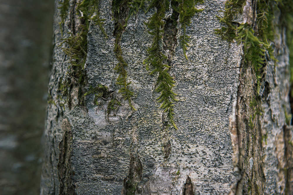 Script lichen (Graphis scripta) growing on hazel bark, near Gramzda, Kurzeme, Latvia Ⓒ Davis Ulands | davisulands.com