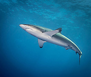 Silky shark in Revillagigedo (Socorro), MX