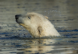 Polar bear (Ursus maritimus) on Svalbard