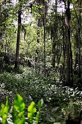 01 June 2015. Jean Lafitte National Historic Park, Louisiana.<br /> Cypress and other trees and shrubs in the swamp at the Barataria Preserve wetlands south or New Orleans. <br /> Photo©; Charlie Varley/varleypix.com