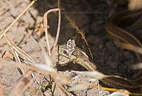 Coast garter snake, Thamnophis elegans terrestris, shedding skin. Point Reyes National Seashore, California