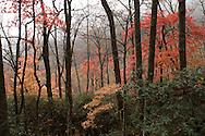 Fall colors enshrouded in mist along the Blue Ridge Parkway near Asheville, North Carolina