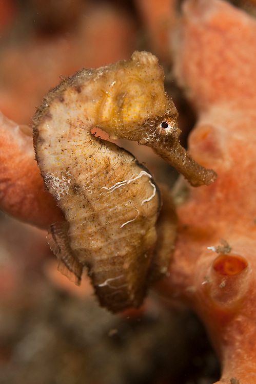 Long snout sea horse, Hippocampus reidi, photographed in the Lake Worth Lagoon, an estuary adjacent to the Atlantic Ocean in Palm Beach County, Florida, United States.