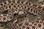 Slender Hog Nosed Pit Viper Snake, Porthidium ophryomegas, Central America, venomous, pitviper, portrait.Central America....