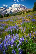 Carpet of lupines on 1st Burroughs Mountain in Mount Rainier National Park in Western Washington, USA<br /> .....<br /> Mount Rainier National Park is a United States National Park located in southeast Pierce County and northeast Lewis County in Washington state. It was established on March 2, 1899 as the fifth national park in the United States. The park encompasses 236,381 acres including all of Mount Rainier, a 14,411-foot stratovolcano. The mountain rises abruptly from the surrounding land with elevations in the park ranging from 1,600 feet to over 14,000 feet. The highest point in the Cascade Range, around it are valleys, waterfalls, subalpine meadows, old-growth forest and more than 25 glaciers. The volcano is often shrouded in clouds that dump enormous amounts of rain and snow on the peak every year and hide it from the crowds that head to the park on weekends.<br /> <br /> Mount Rainier is circled by the Wonderland Trail and is covered by several glaciers and snowfields totaling some 35 square miles. Carbon Glacier is the largest glacier by volume in the contiguous United States, while Emmons Glacier is the largest glacier by area. About 1.8 million people visit Mount Rainier National Park each year. Mount Rainier is a popular peak for mountaineering with some 10,000 attempts per year with approximately 50% making it to the summit.