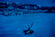 A elk's skull is laying in the snow next to the home of Ed Naranjo, chief of the Goshute Tribe, in the Goshute Reservation of Deep Creek Valley, on the Nevada-Utah border, USA.